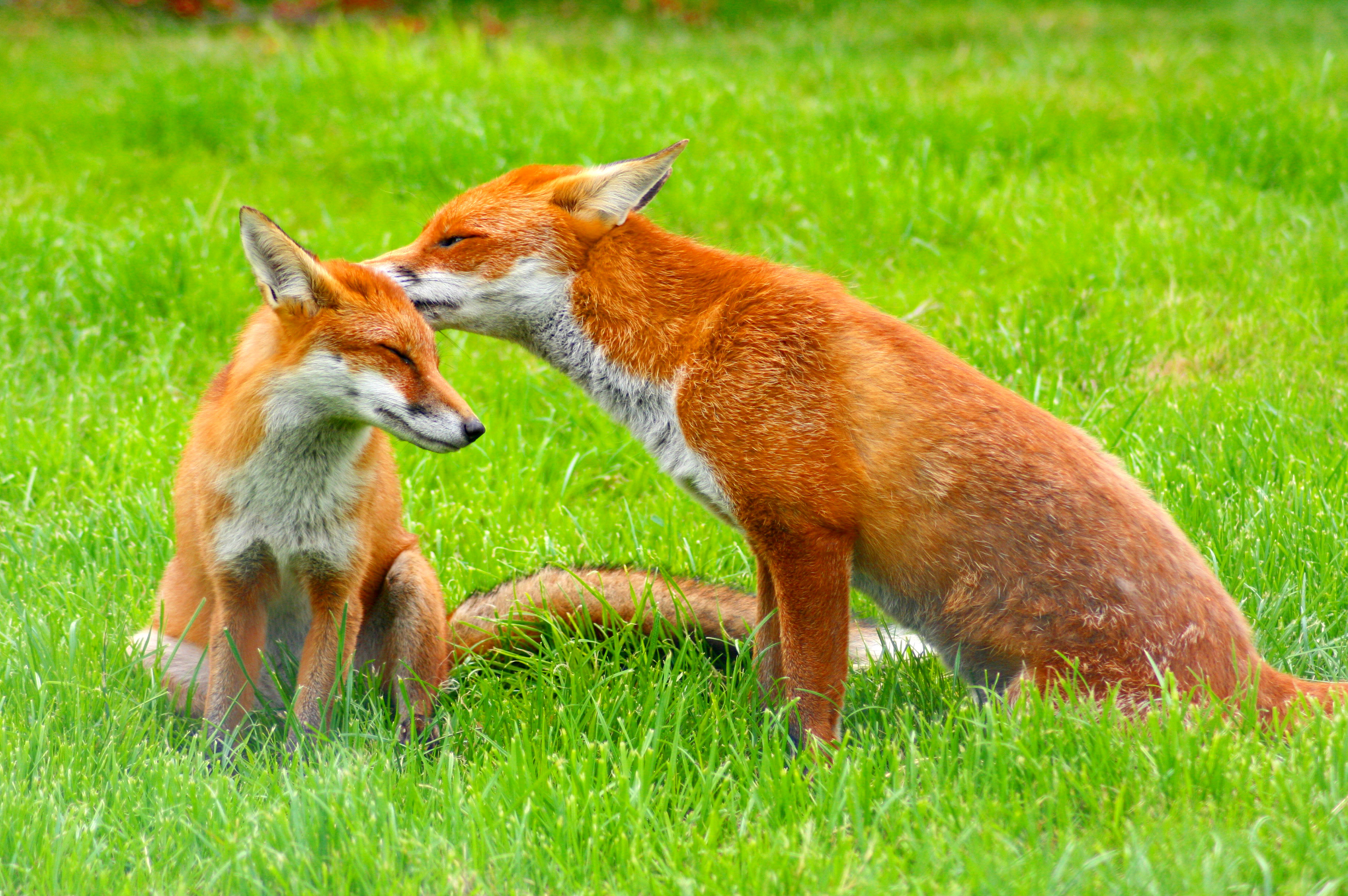 Pictures Of Wildlife The European Red Fox