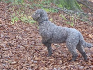 Truffle Hunting Dog