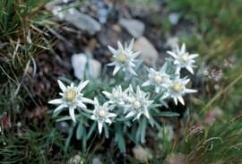 Edelweiss flowers in Switzerland