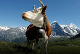 Cow in the Jungfrau