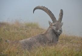 male ibex