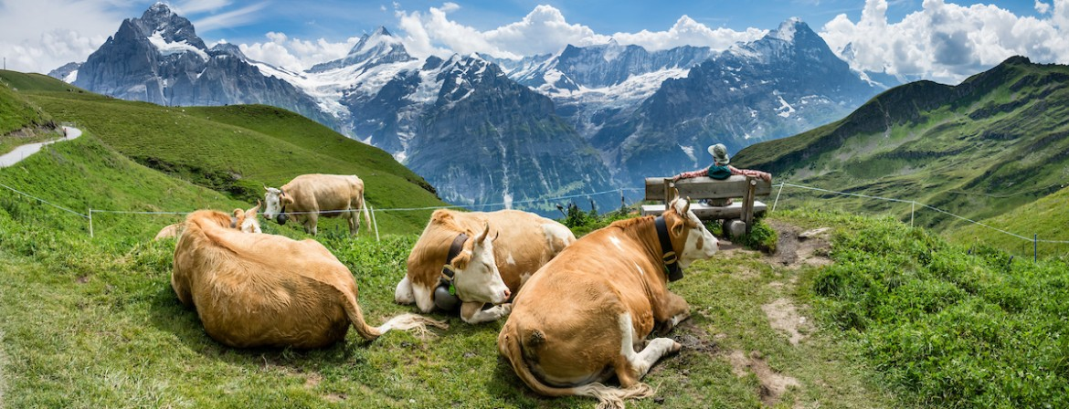 Cow in the Jungfrau mountains