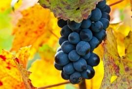 Grapes at a Swiss vineyard