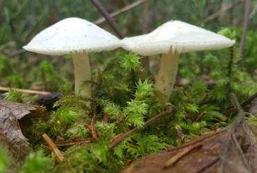 Gstaad Mushroom