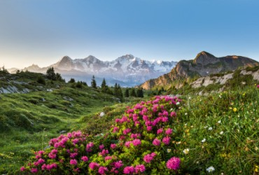 Panorama with alpine roses on the Isenfluh near Lauterbrunnen