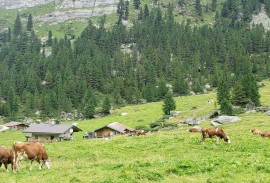 Cows along the trail going up to Berliner Hutte