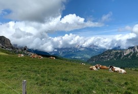 Cows in the Dolomites   Photo by Macie Duncan