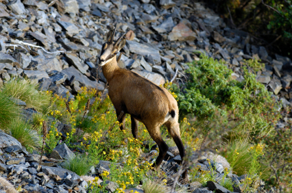 Chamois in the Swiss Alps