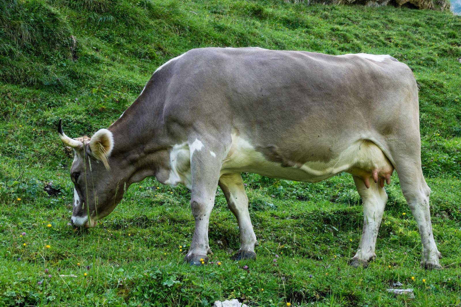 Eigeralp Cow