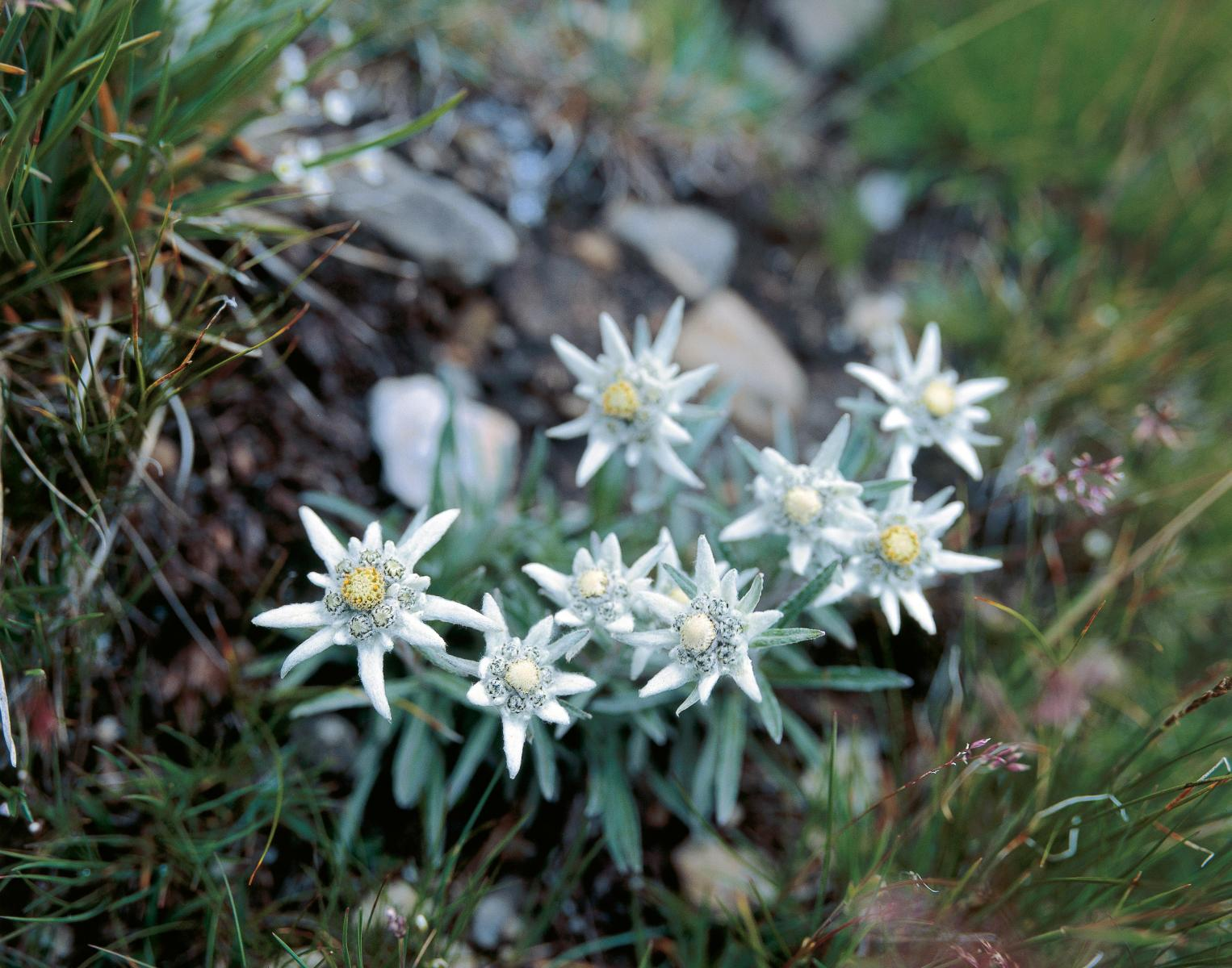 Edelweiss flowers in Switzerland
