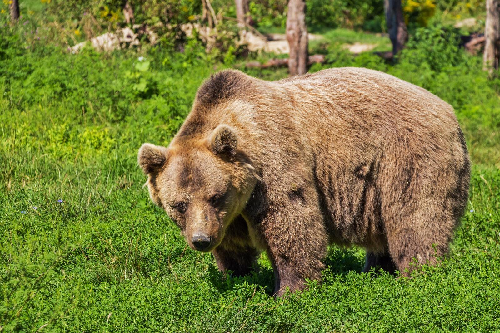 Bears in Switzerland